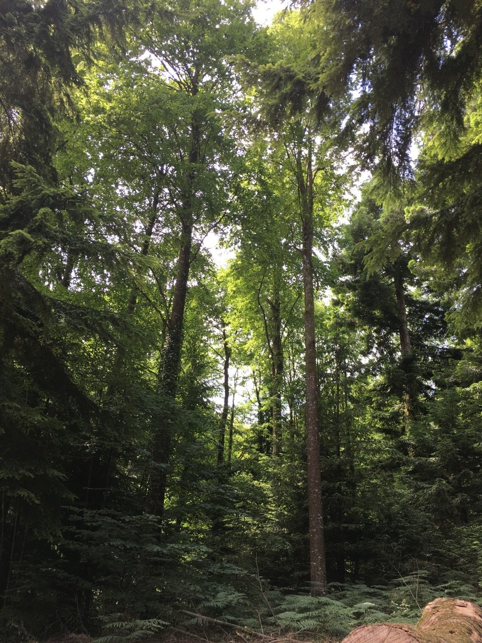 A wonderful stand of Western Hemlock and Chilean Beech'